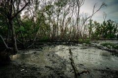 Листья зеленого цвета дерева мангровы и мертвого дерева в лесе a мангровы Стоковое Изображение