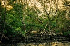 Листья зеленого цвета дерева мангровы и мертвого дерева в лесе a мангровы Стоковое Фото