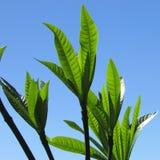 Листья зеленого цвета дерева против голубого неба Стоковые Фото
