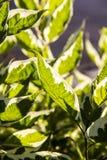Листья зеленого цвета завода Стоковая Фотография RF