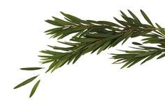 Листья зеленого цвета и ветвь дерева щетки бутылки изолированного на белой предпосылке Стоковые Фото