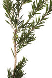 Листья зеленого цвета и ветвь дерева щетки бутылки изолированного на белой предпосылке Стоковые Изображения