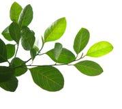Листья зеленого цвета и изолированная ветвь дерева Стоковое Изображение RF