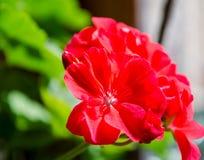 Листья зеленого цвета и красный крупный план цветка Стоковые Изображения RF