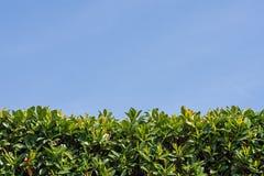 Листья зеленого цвета как изгородь и небо стоковое фото rf