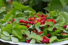 Листья зеленого цвета клубник и красных зрелых ягод клубники на белой плите в летнем дне outdoors Стоковые Изображения RF