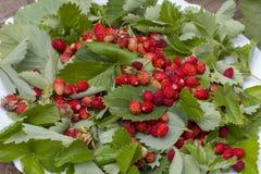 Листья зеленого цвета клубник и красных зрелых ягод клубники на белой плите в летнем дне outdoors Стоковые Фотографии RF