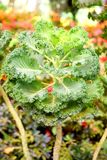 Листья зеленого цвета листовой капусты - капусты лист - капуста белокочанная Стоковое Изображение