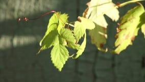 Листья зеленого цвета лозы хмеля на ветре сток-видео