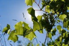 Листья зеленого цвета молодых виноградин и пук малых виноградин с солнцем освещают контржурным светом против голубого неба стоковая фотография rf