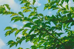 Листья зеленого цвета на дереве с голубым небом стоковые фотографии rf