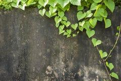 Листья зеленого цвета на старой стене Стоковое Изображение RF