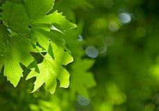 Листья зеленого цвета, отмелый фокус Стоковое Изображение