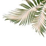 Листья зеленого цвета пальмы на белизне Стоковое Изображение RF