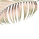 Листья зеленого цвета пальмы на белой предпосылке Стоковая Фотография