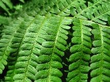 листья зеленого цвета папоротника предпосылки Стоковое Изображение RF