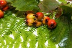 Листья зеленого цвета папоротника свежие стоковые изображения