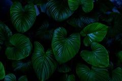листья зеленого цвета предпосылки акации Зеленый цвет выходит темнота тона цвета в утро Стоковые Фото