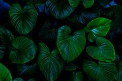листья зеленого цвета предпосылки акации Зеленый цвет выходит темнота тона цвета в утро Стоковые Фотографии RF