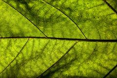 листья зеленого цвета предпосылки акации Стоковые Фотографии RF