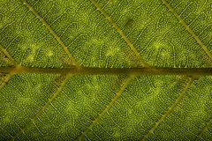 листья зеленого цвета предпосылки акации Стоковое Изображение RF