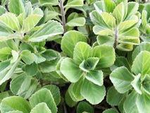 листья зеленого цвета предпосылки свежие листья зеленого цвета предпосылки акации Стоковые Изображения RF