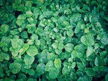 листья зеленого цвета предпосылки свежие Стоковые Фото