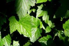 листья зеленого цвета предпосылки свежие Стоковая Фотография RF