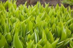 листья зеленого цвета предпосылки стоковые фотографии rf