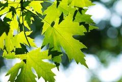 листья зеленого цвета предпосылки стоковое изображение rf