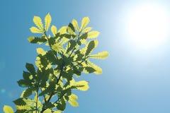 Листья зеленого цвета против света Стоковые Фотографии RF