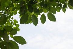 Листья зеленого цвета против Стоковые Изображения RF
