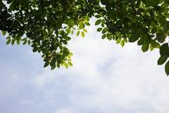 Листья зеленого цвета против Стоковое Изображение RF