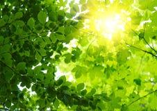 Листья зеленого цвета с лучем солнца Стоковые Фотографии RF