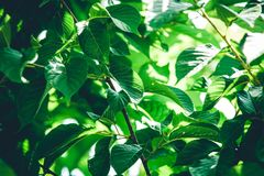 Листья зеленого цвета с светом утра Стоковая Фотография RF