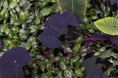 Листья зеленого цвета, фиолетовых и белых тропического завода Стоковые Фото