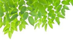 листья зеленого цвета Стоковая Фотография