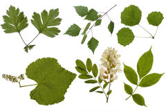 листья зеленого цвета Стоковое Изображение