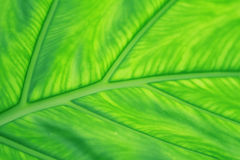 Листья зеленого цвета. Стоковая Фотография RF