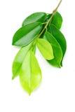 листья зеленого цвета shinny Стоковые Изображения RF