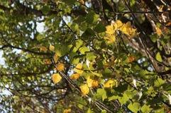 Листья зеленого цвета yelllow осени ветви дерева Стоковые Изображения RF