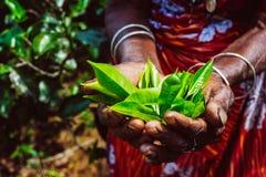 Листья зеленого чая в плантации чая стоковое изображение