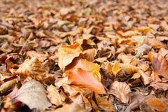 листья земли осени сухие Стоковые Фото