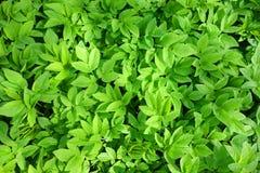 Листья зеленого завода Стоковое фото RF
