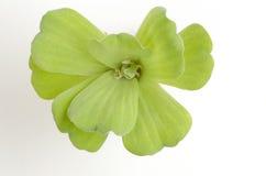 Листья зеленого папоротника воды, папоротника москита Стоковая Фотография