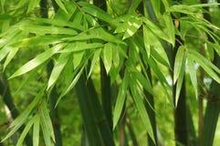 Листья зеленого цвета бамбука Стоковая Фотография RF
