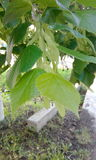 Листья зеленого цвета, весна Стоковые Изображения