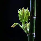 Листья зеленого цвета весны отпочковываясь Стоковые Изображения
