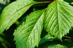Листья зеленого цвета в больших падениях воды Стоковое Изображение