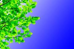 Листья зеленого цвета в голубом небе Стоковые Фото
